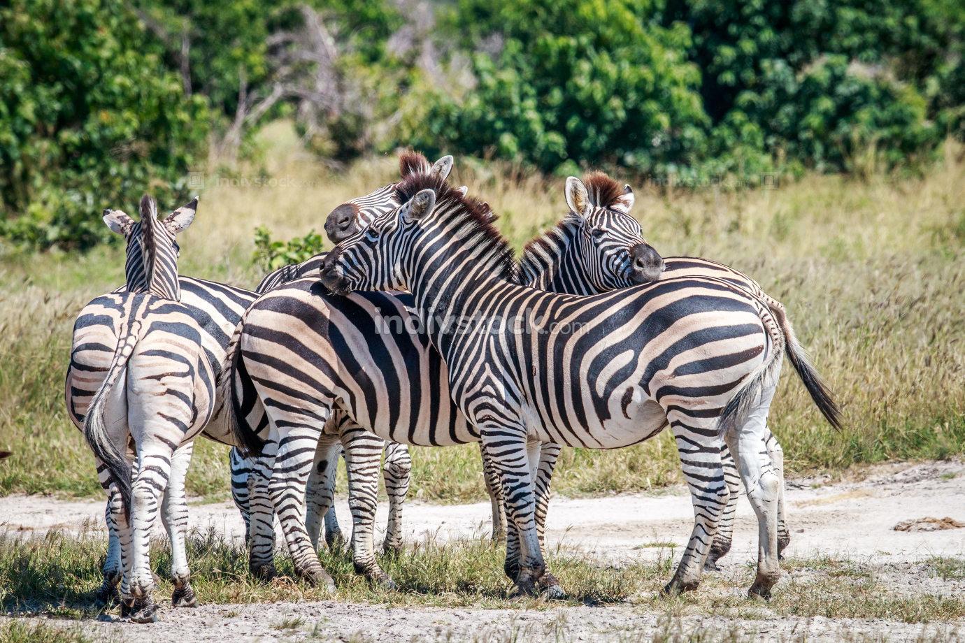Group of Zebras bonding in Chobe.