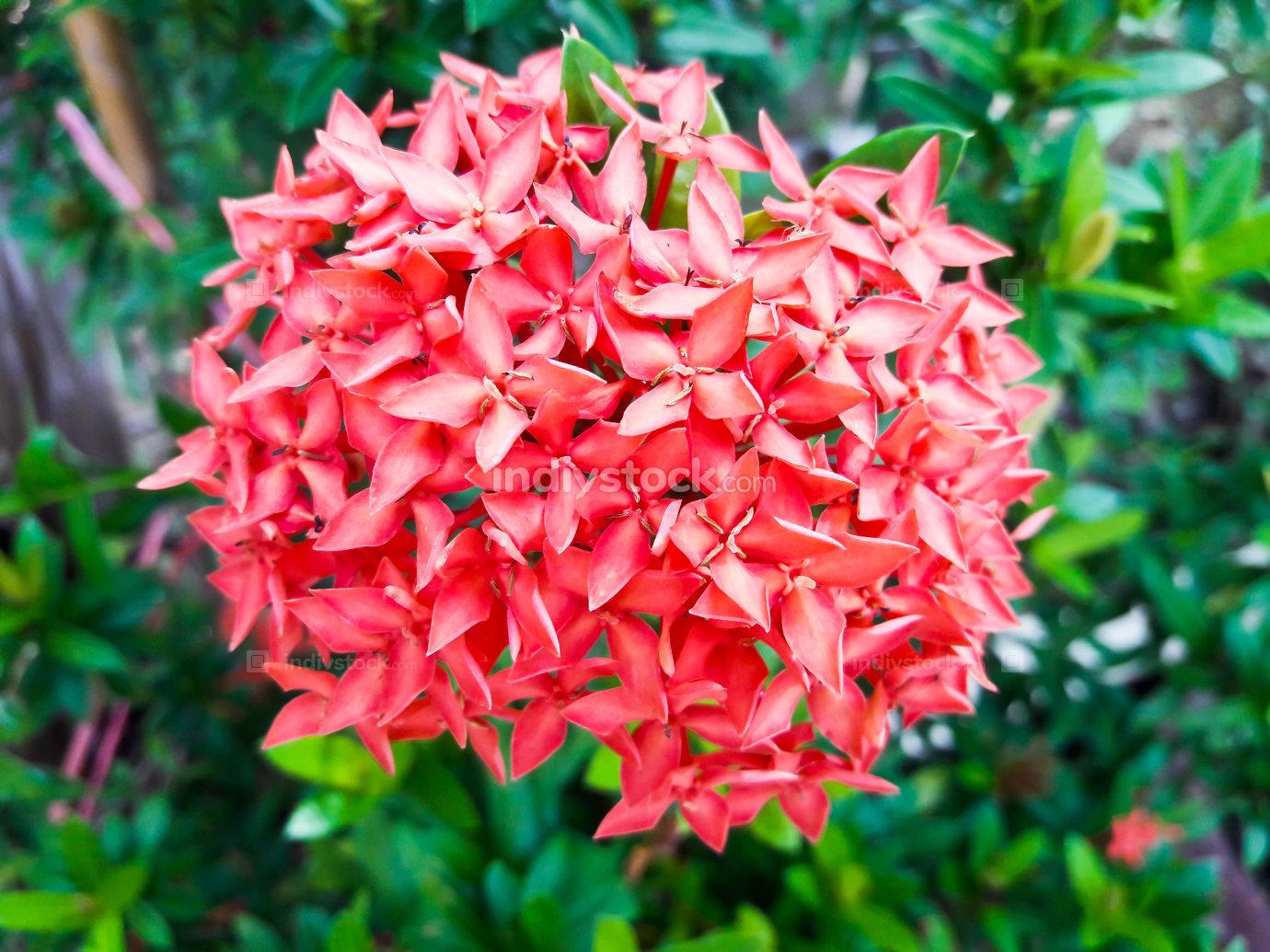 Ixora flower.Red spike flower. King Ixora blooming (Ixora chinen