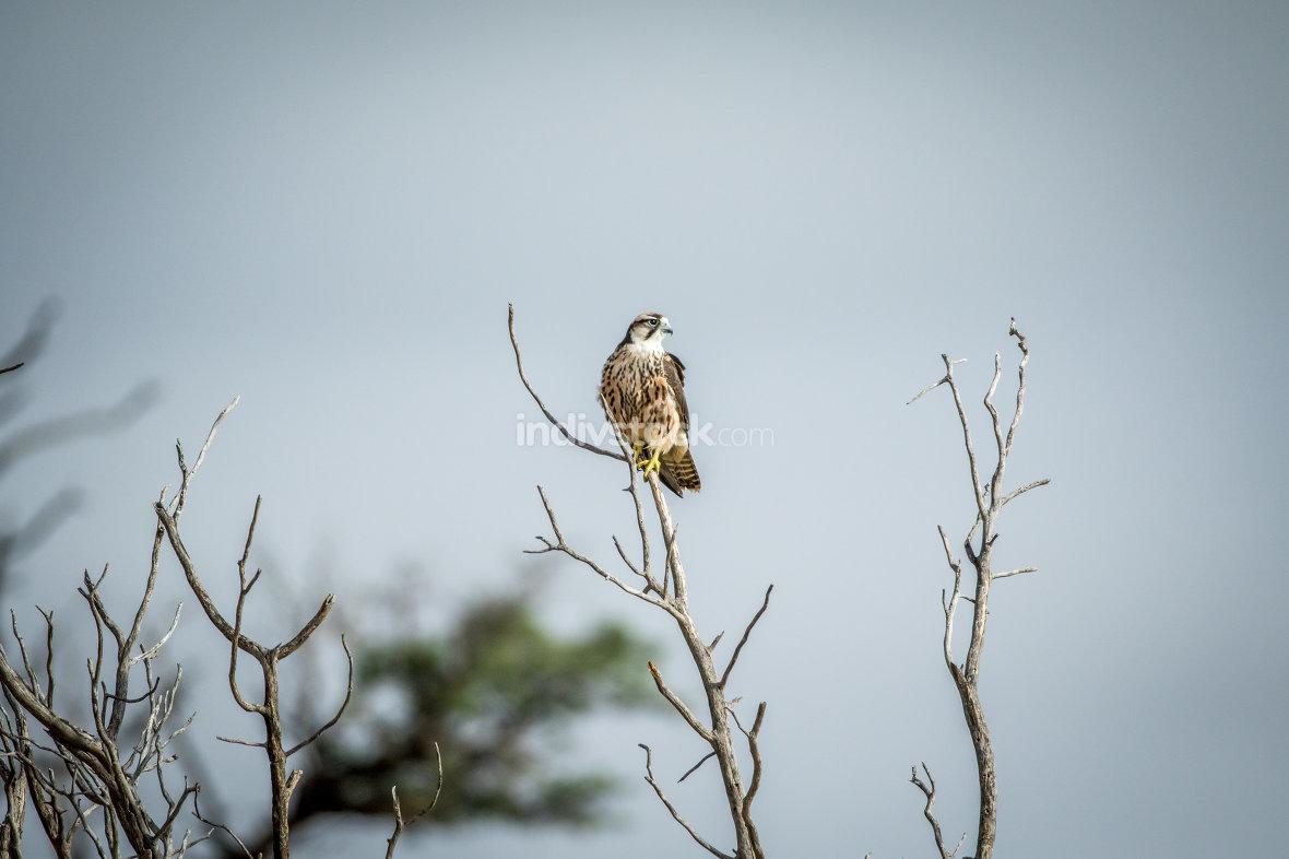 Juvenile Lanner falcon on a branch.