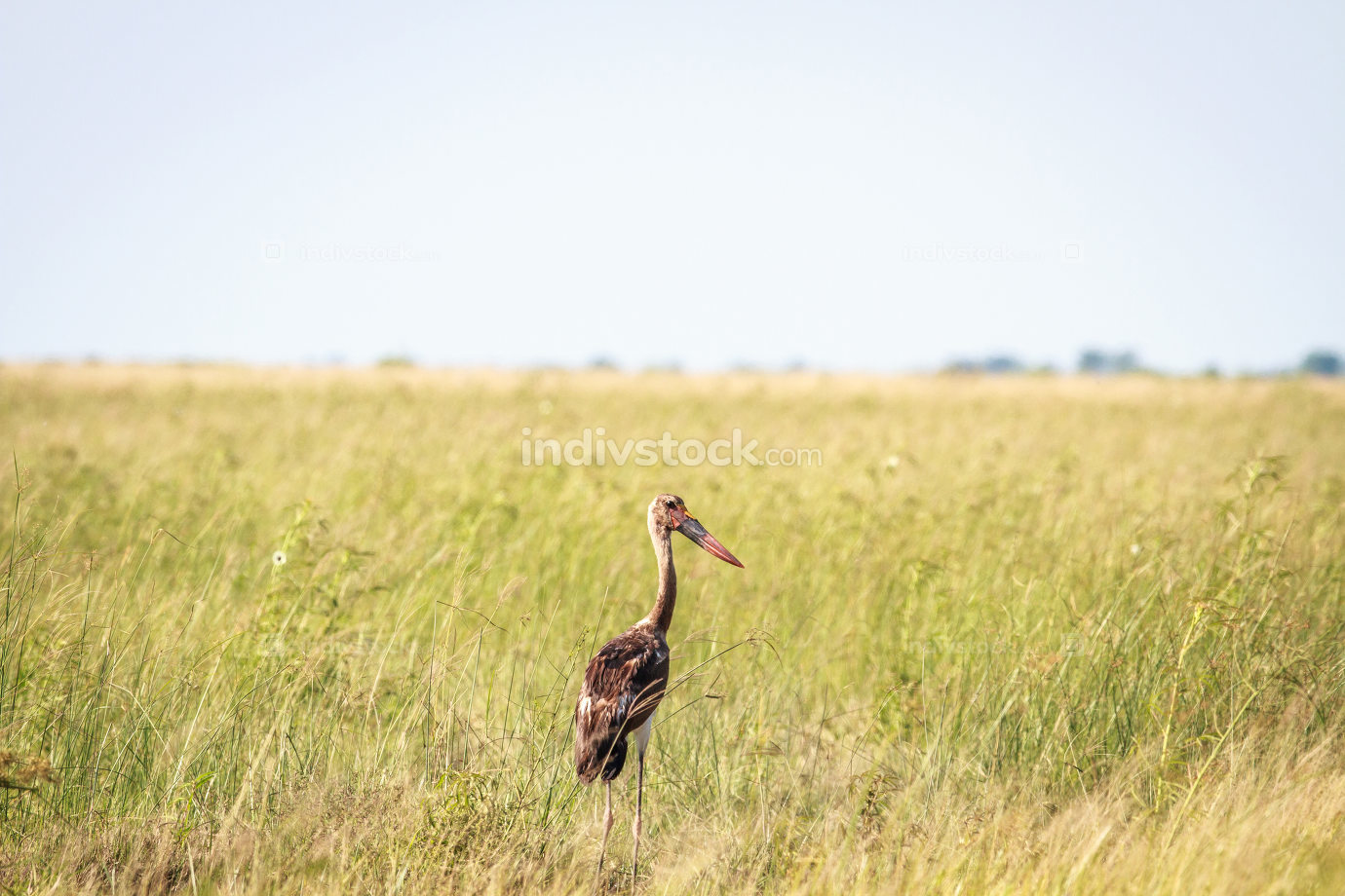 Juvenile Saddle-billed stork in high grass.