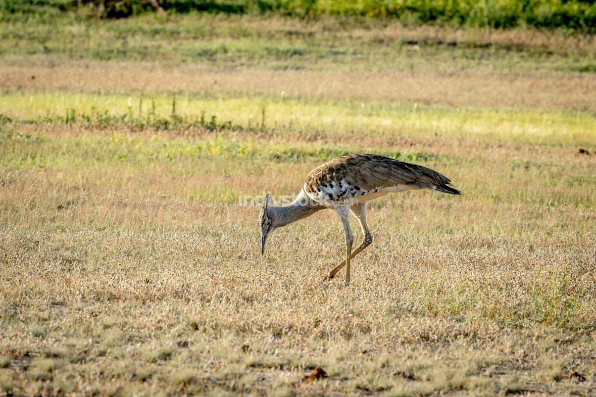 Kori bustard walking in the grass.