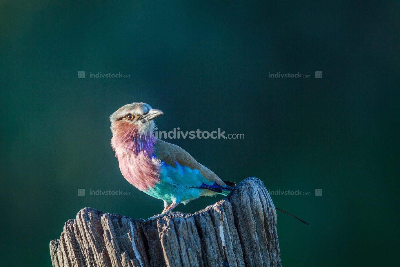 Lilac-breasted roller on a tree trunk.