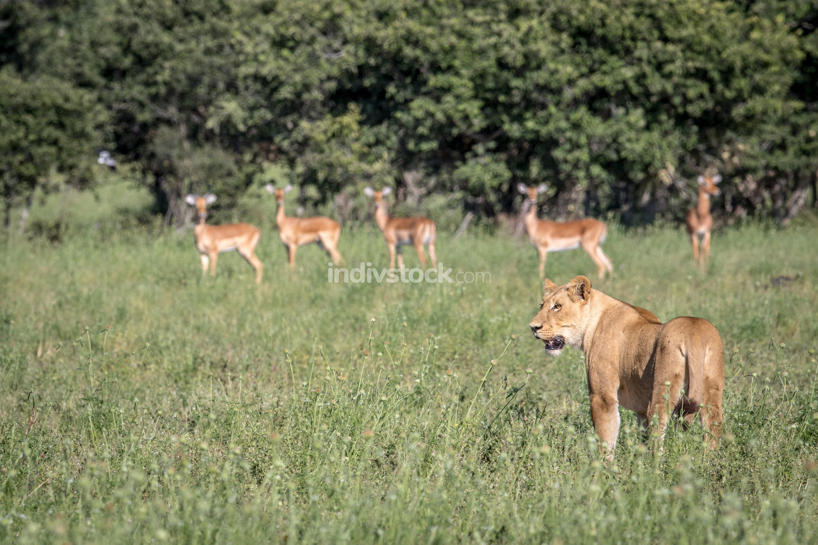 Lion standing in front of Impalas.
