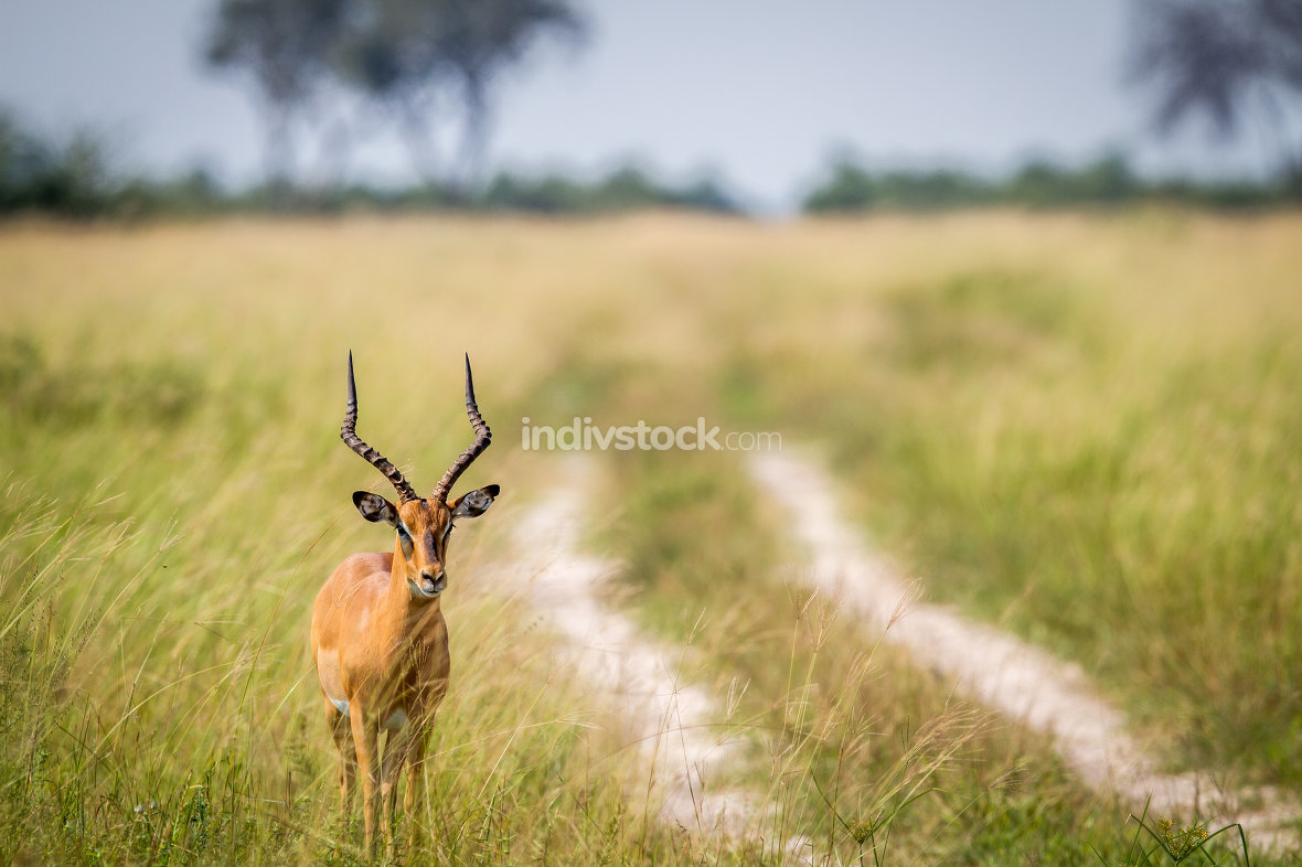 Male Impala standing next to the road.