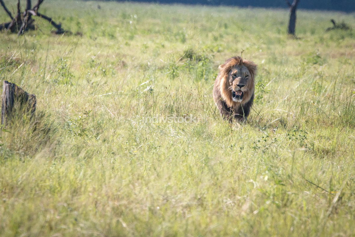 Male Lion walking in the grass.