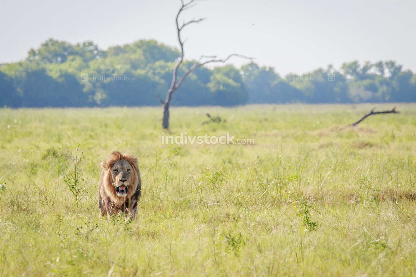 Male Lion walking towards the camera.