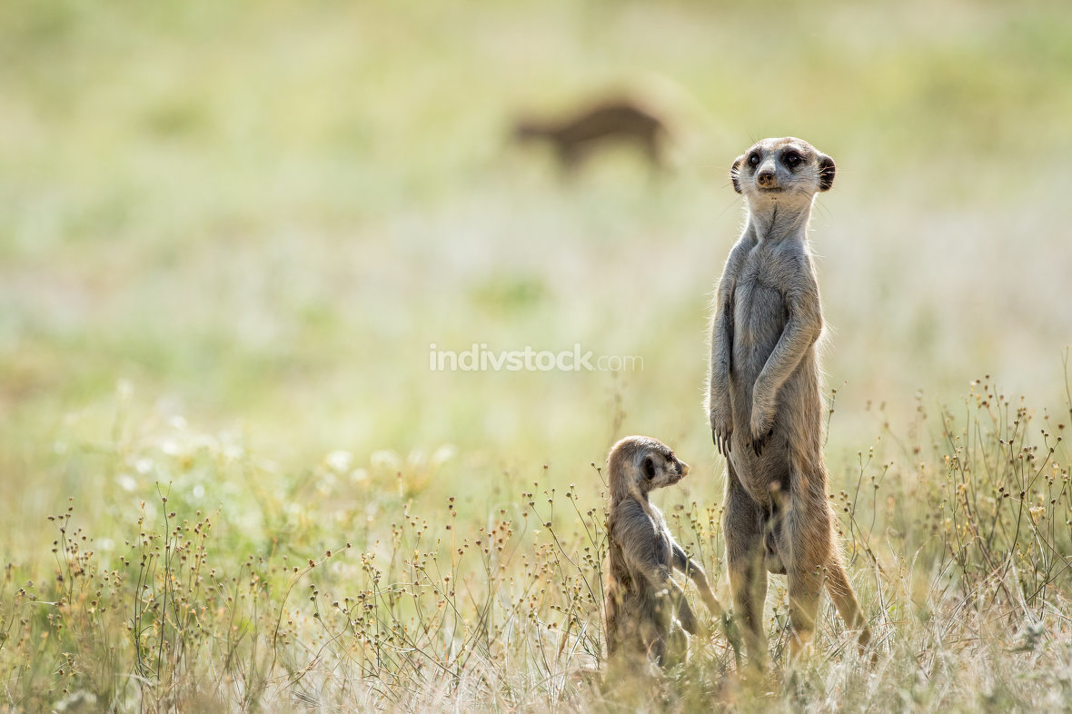 Meerkat on the look out in the Kalagadi.