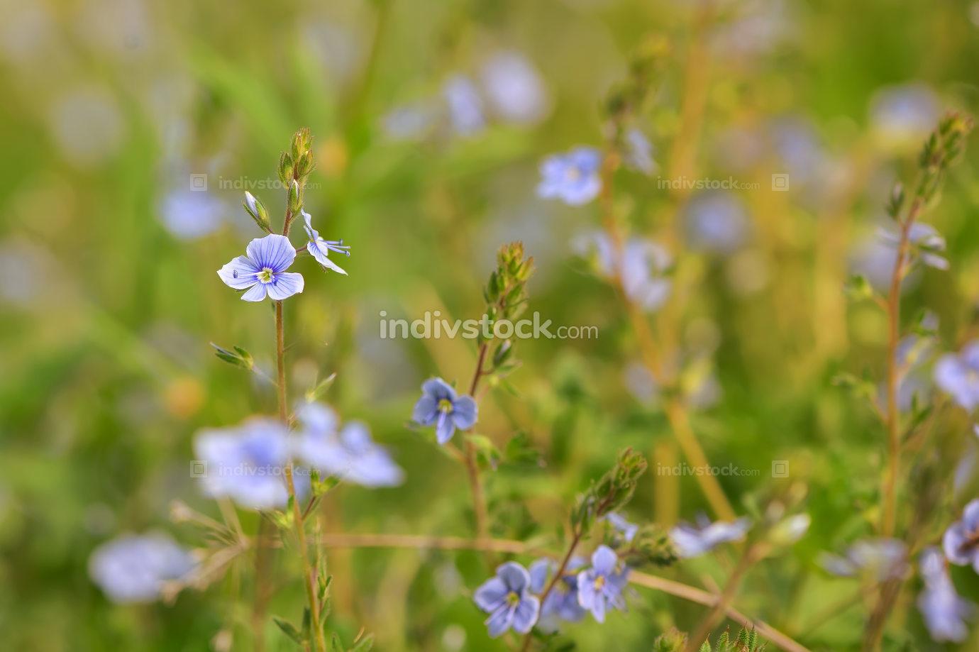 Nemophila flower field, blue flowers