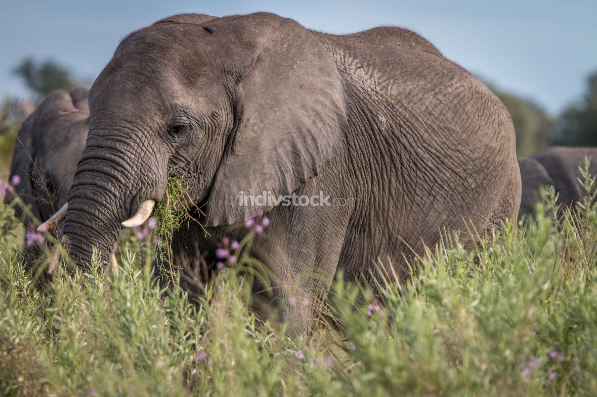 One Elephant eating the grass.