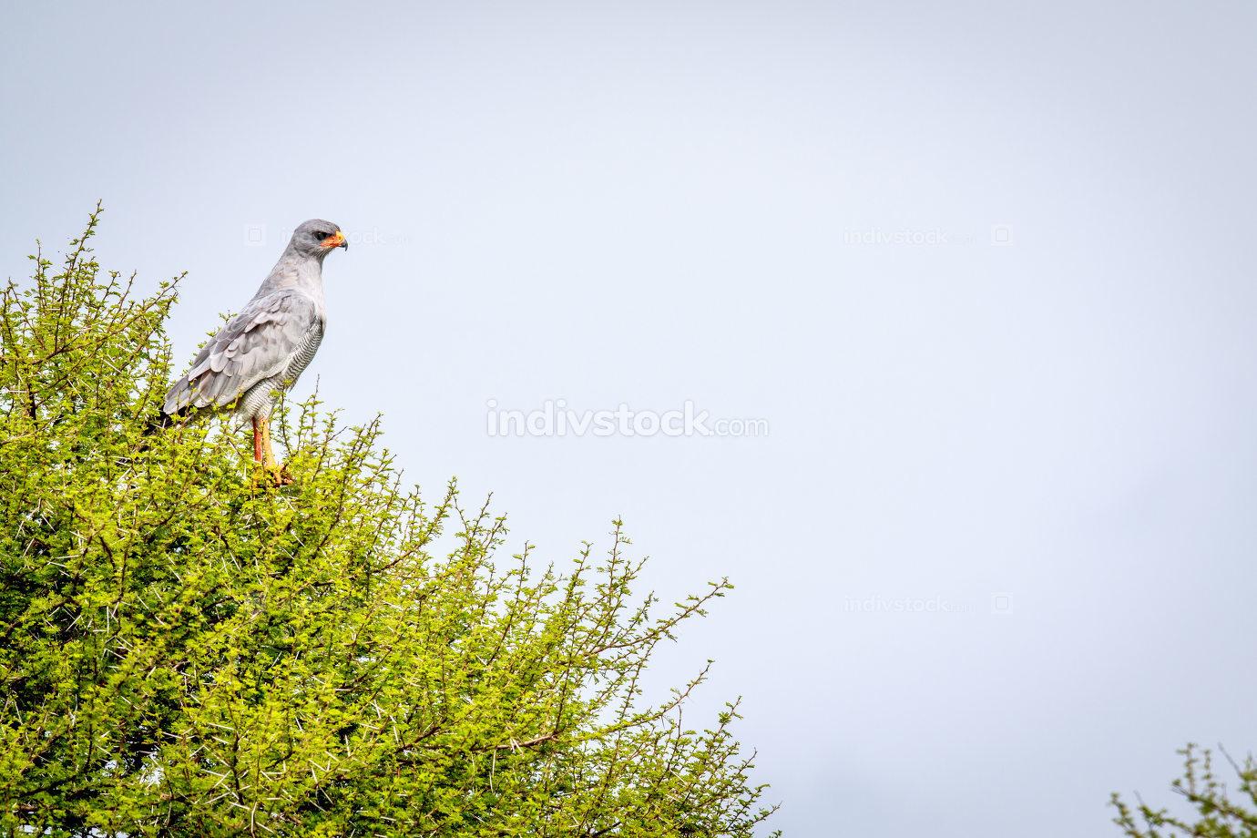 Pale-chanting goshawk in a tree.