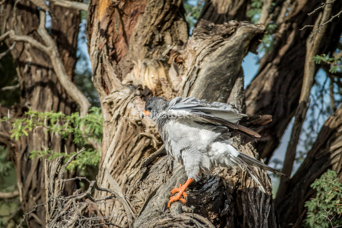 Pale-chanting goshawk on a branch.
