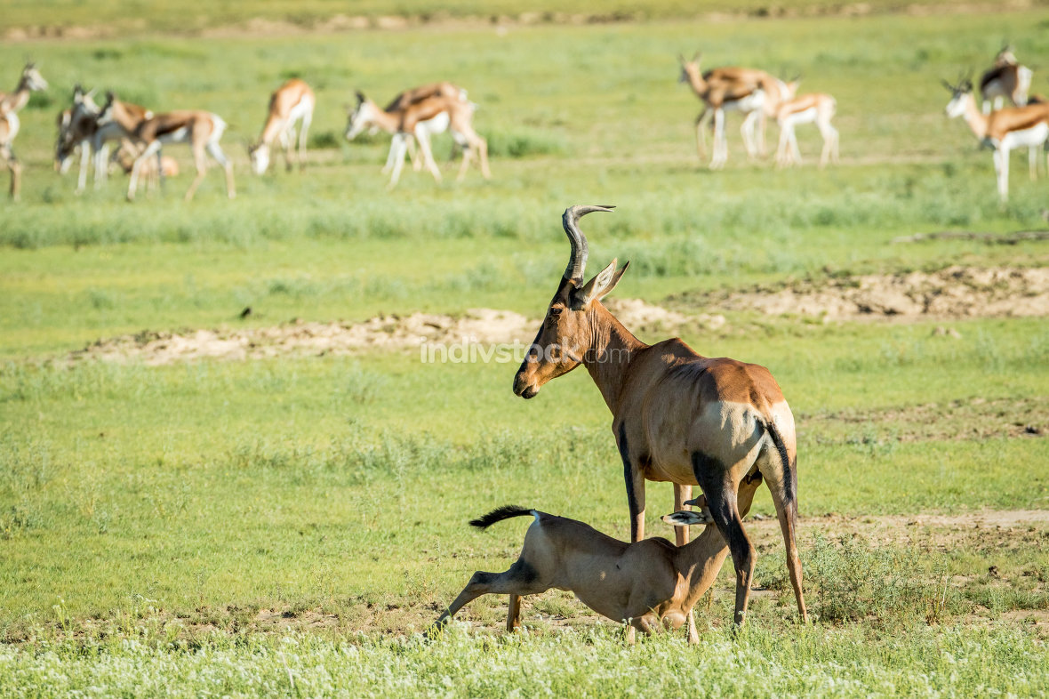 Red hartebeest calf suckling from his mother.