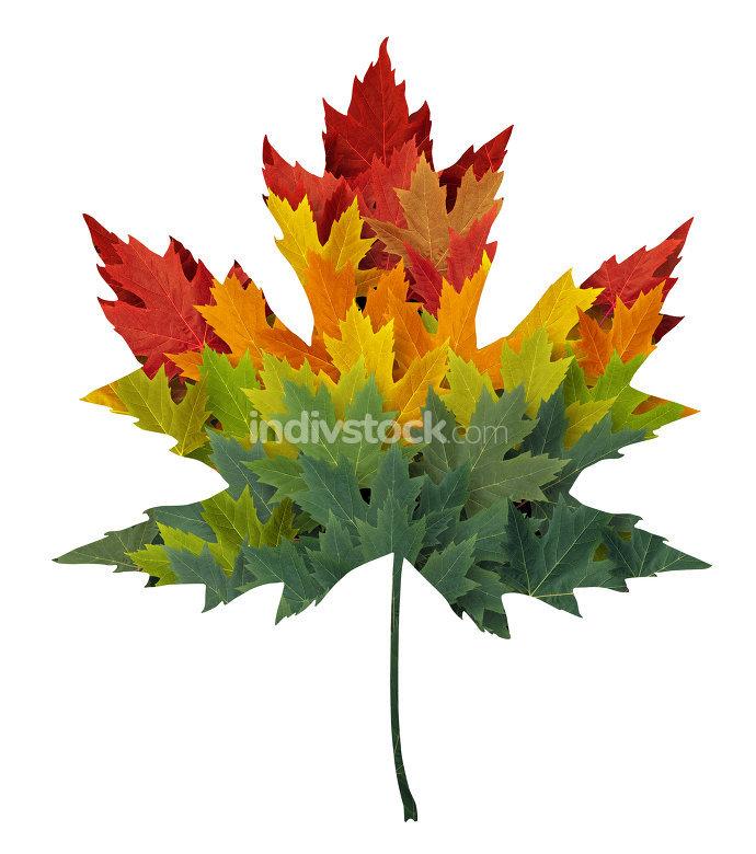 Seasonal Maple Leaf