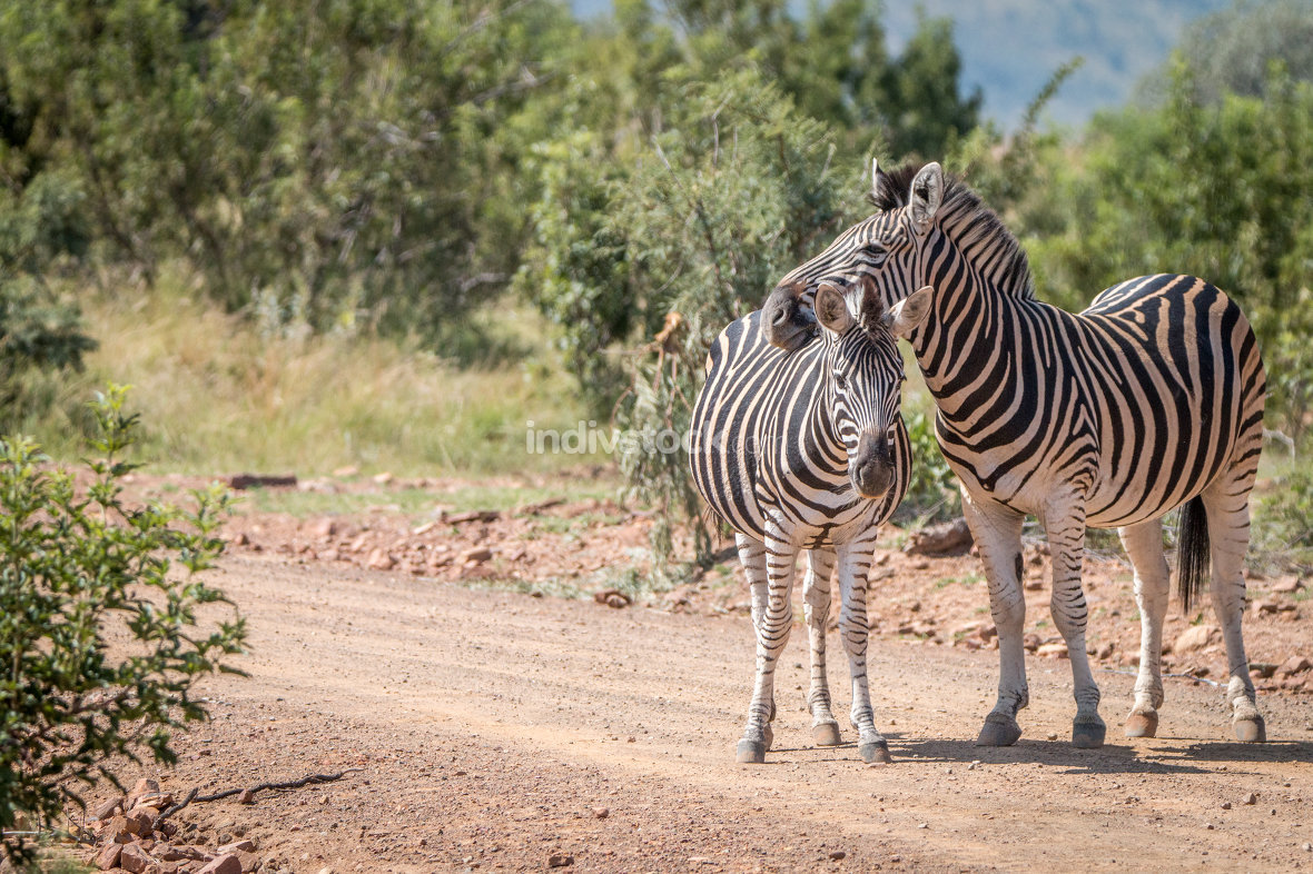 Several Zebras playing on the road.