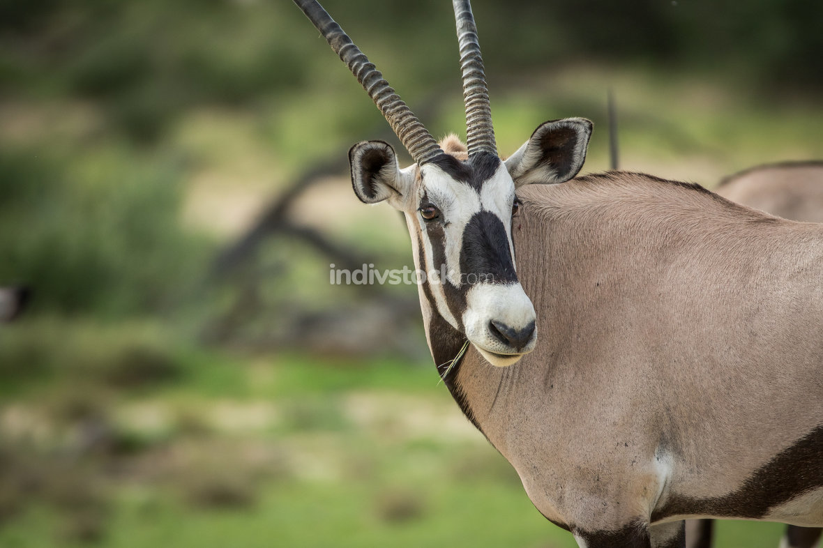 Side profile of a Gemsbok in Kalagadi.