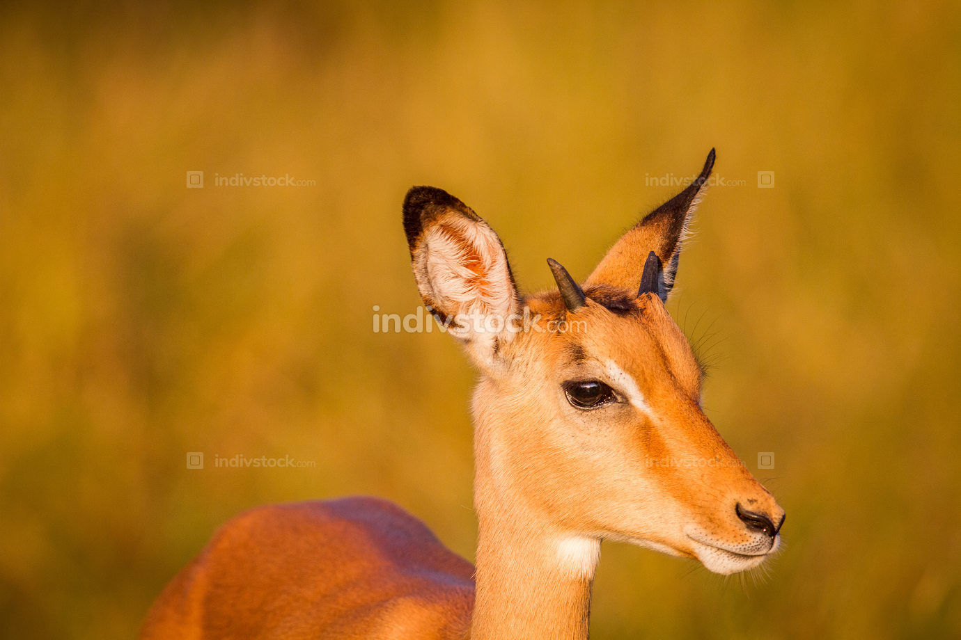 Side profile of a young Impala.
