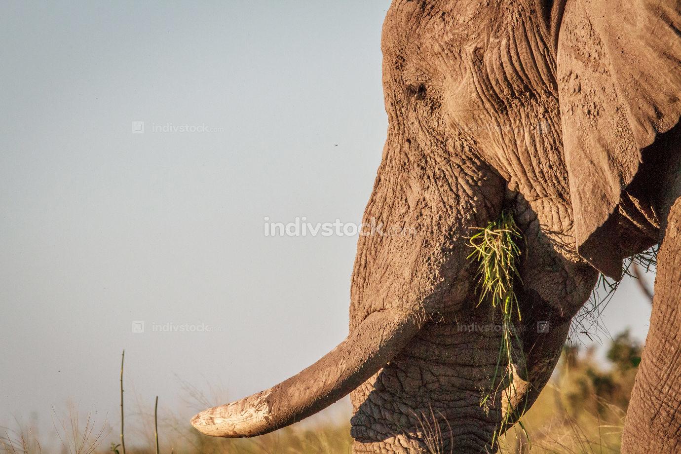 Side profile of an Elephant in Chobe.