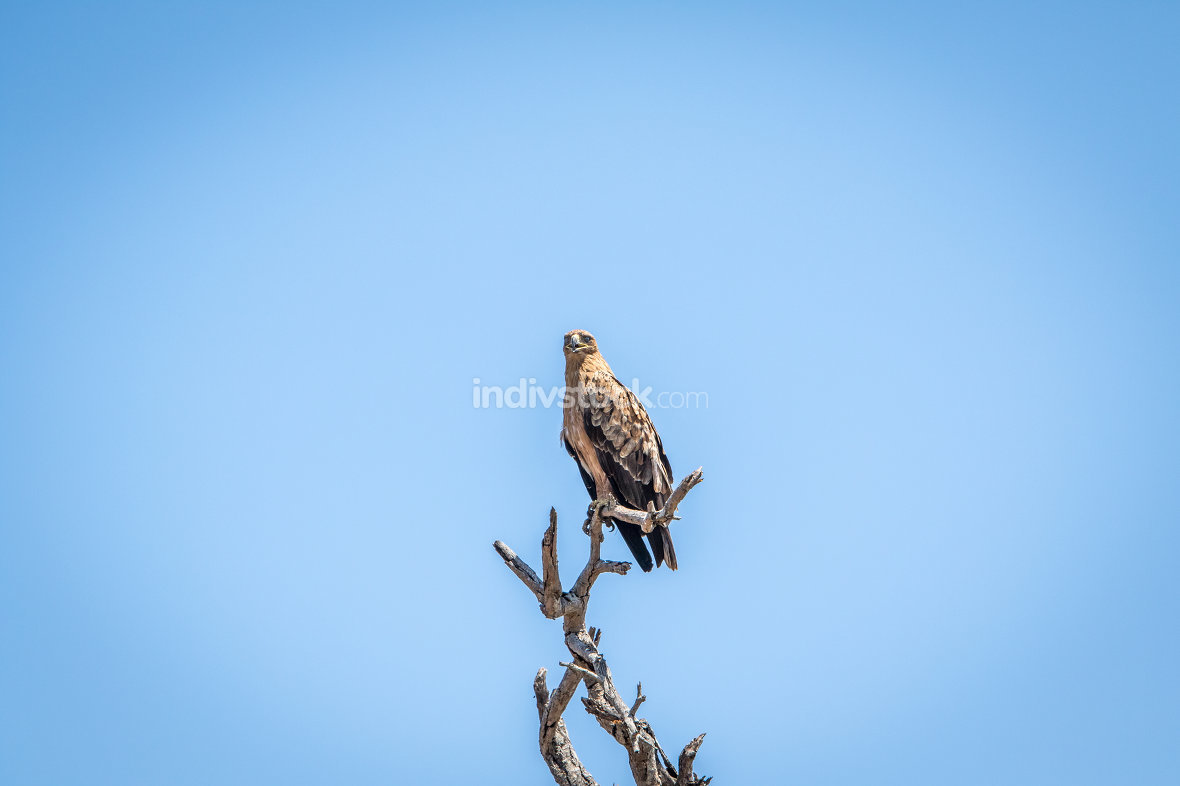 Tawny eagle sitting on a branch.