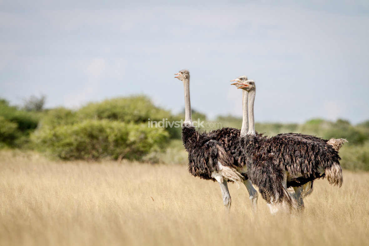 Three Ostriches standing in high grass.