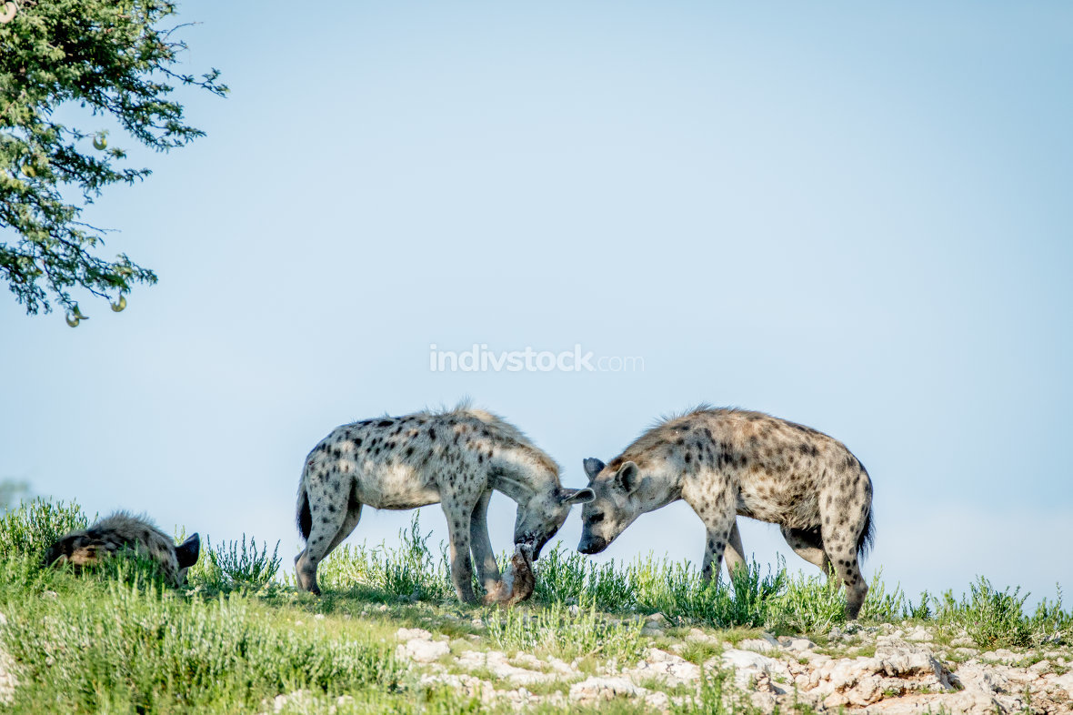 Three Spotted hyenas on a ridge.