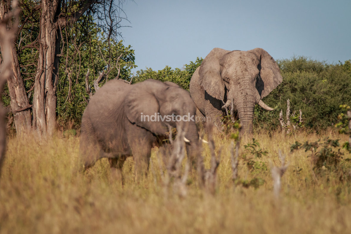 Two Elephants eating in the grass.