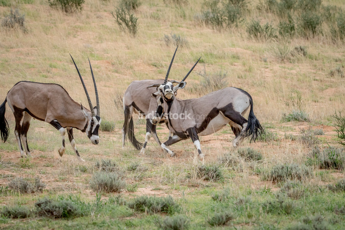 Two Gemsboks fighting in the grass.