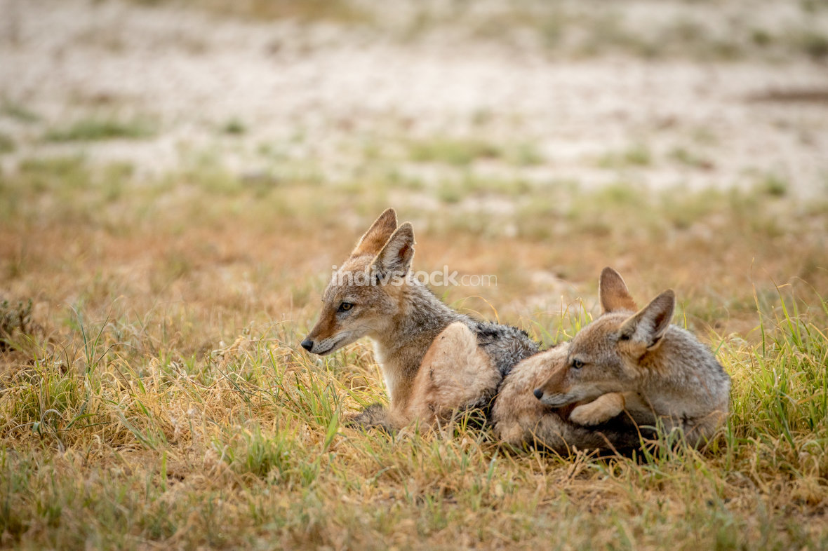 Two young Black-backed jackals laying down.