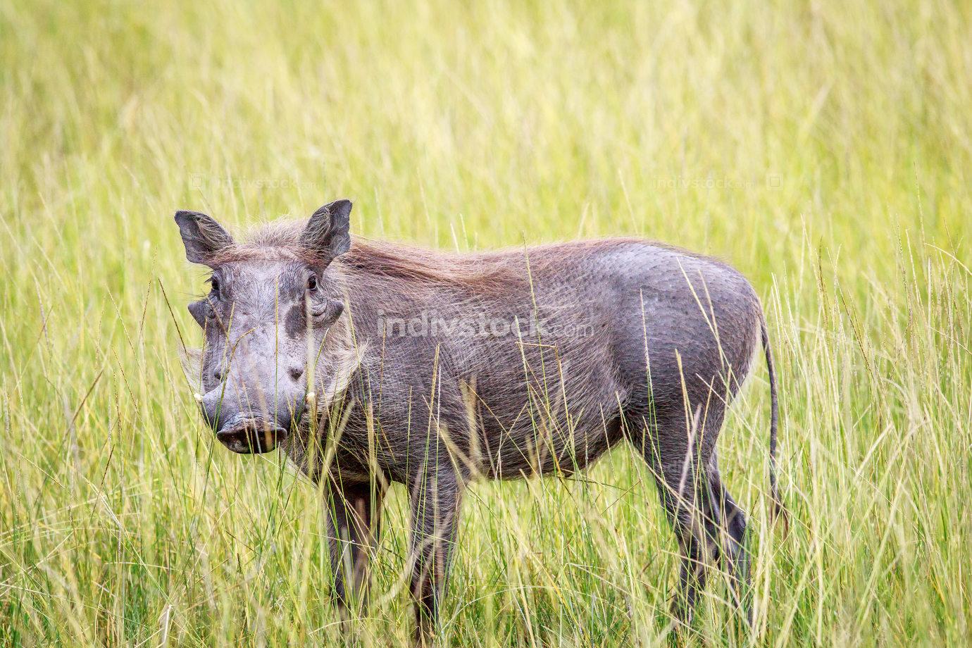 Warthog standing in long grass.
