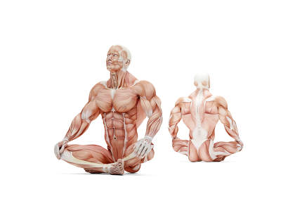 Athlete in meditating pose. Anatomical 3D illustration. Isolated