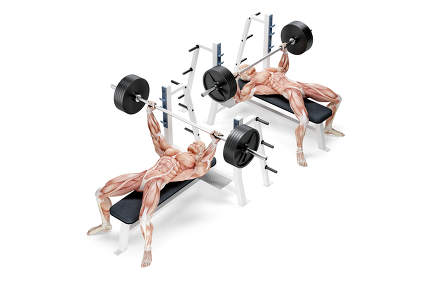 Barbell Bench Press exercise. Anatomical 3D illustration. Isolat