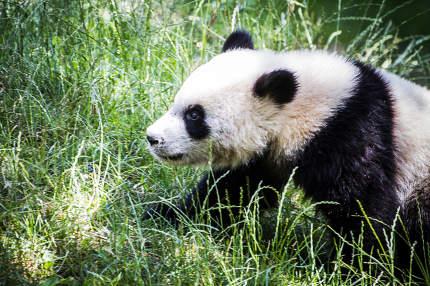 Beautiful breeding panda bear playing in a tree