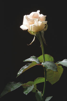 Cream-color rose on the dark background;