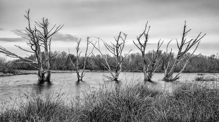 Dead Trees Flooded in Water