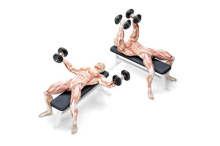 Dumbbell Bench Press. Anatomical 3D illustration. Isolated with