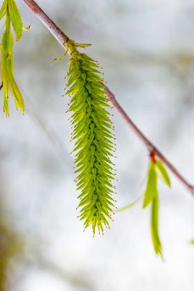 Female Willow Flower