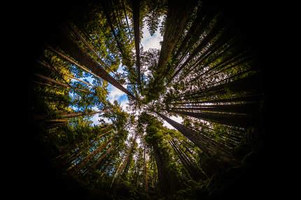 Redwood Forest Fisheye