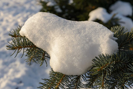 Snow on a Fir Branch