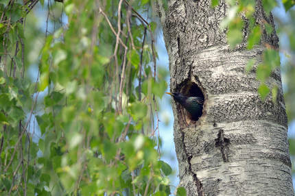 Starling Nesting in forest