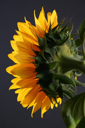 Sunflower in studio