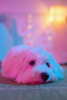 White puppy maltese dog sitting