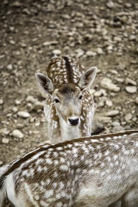 Wild deer in a farm