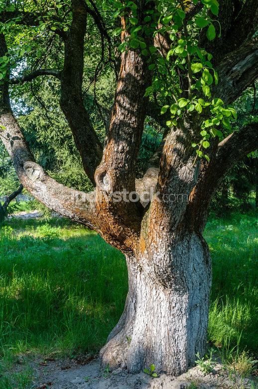 A Big Tree in a Garden