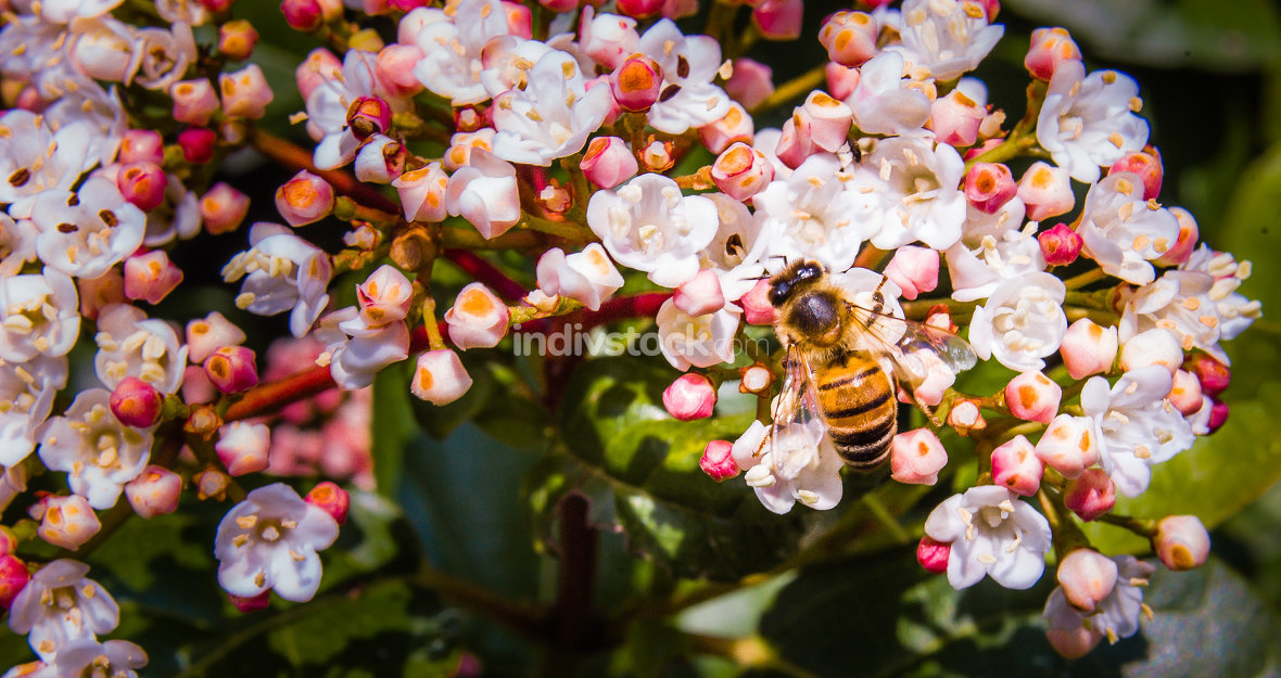 Bee on Viburnum Tinus Flowers