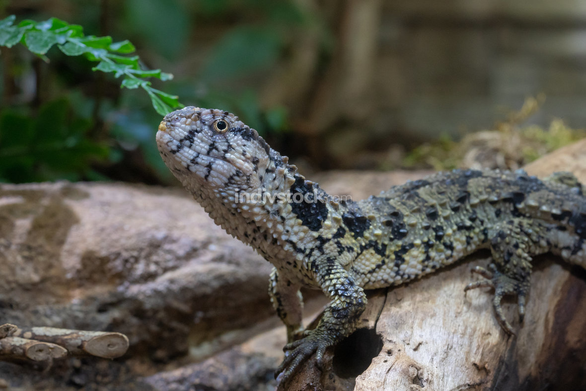 Chinese Crocodile Lizard, Shinisaurus crocodilurus