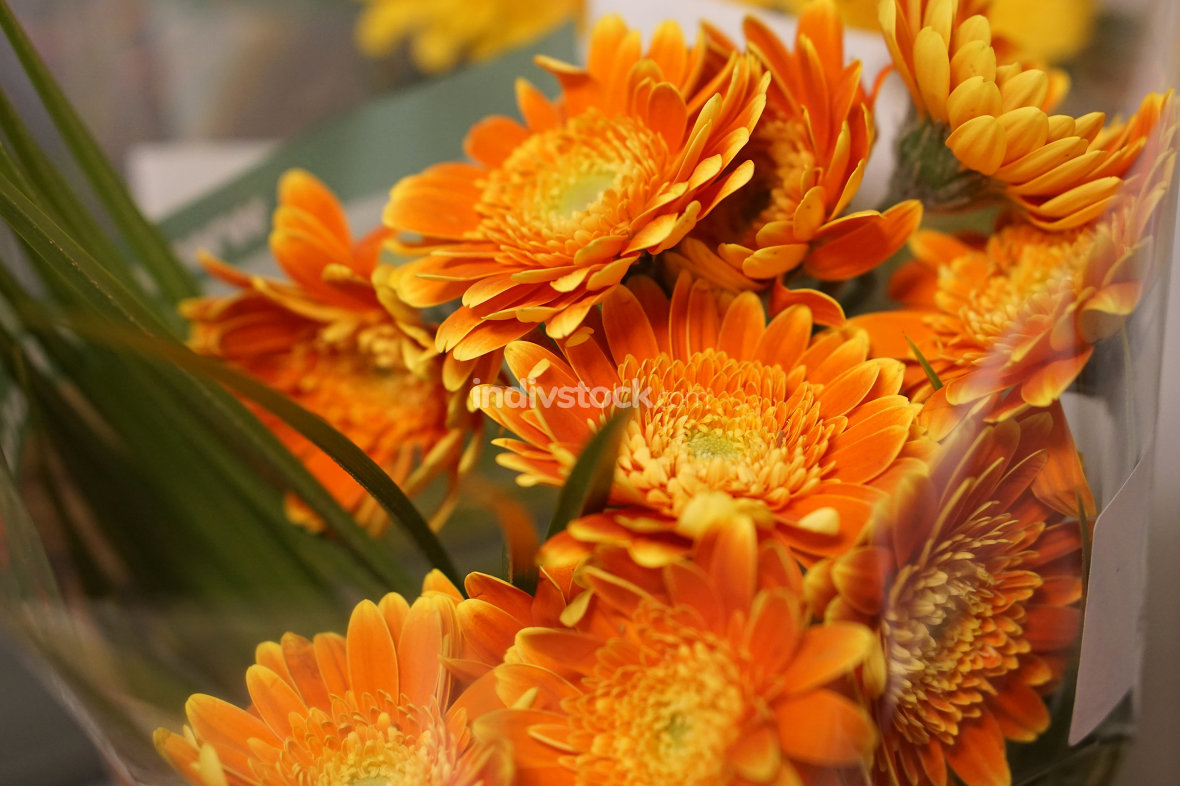 Chrysanthemum or Florist