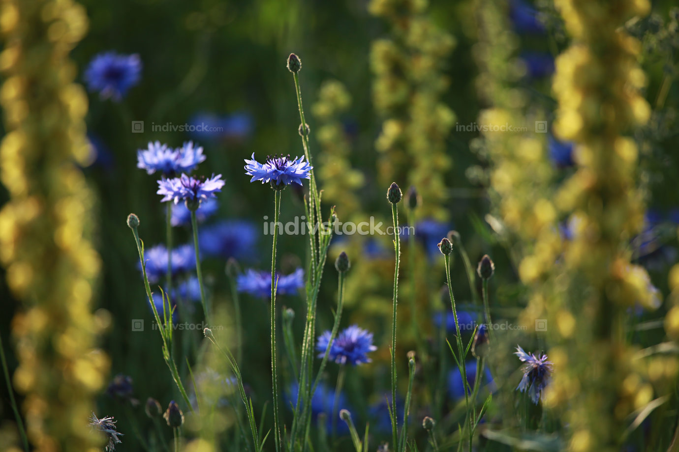 Cornflowers on meadow as background.