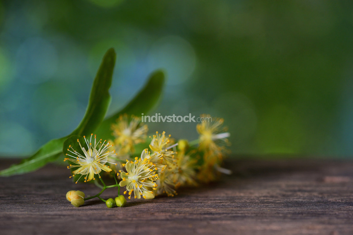 Flowers of linden tree