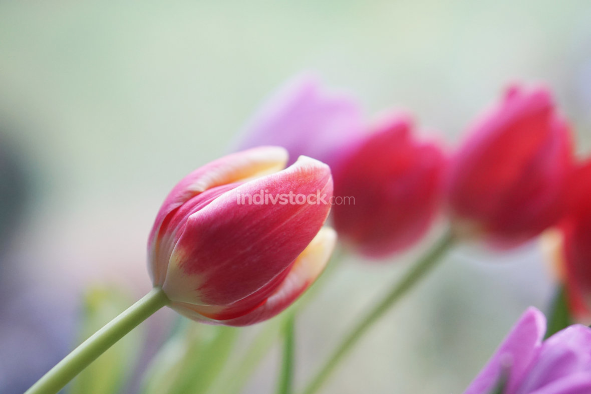 free download: bunch of tulips background