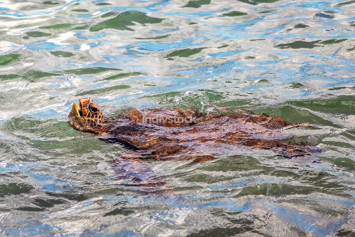 Green Sea Turtle Swimming Near Maui, Hawaii