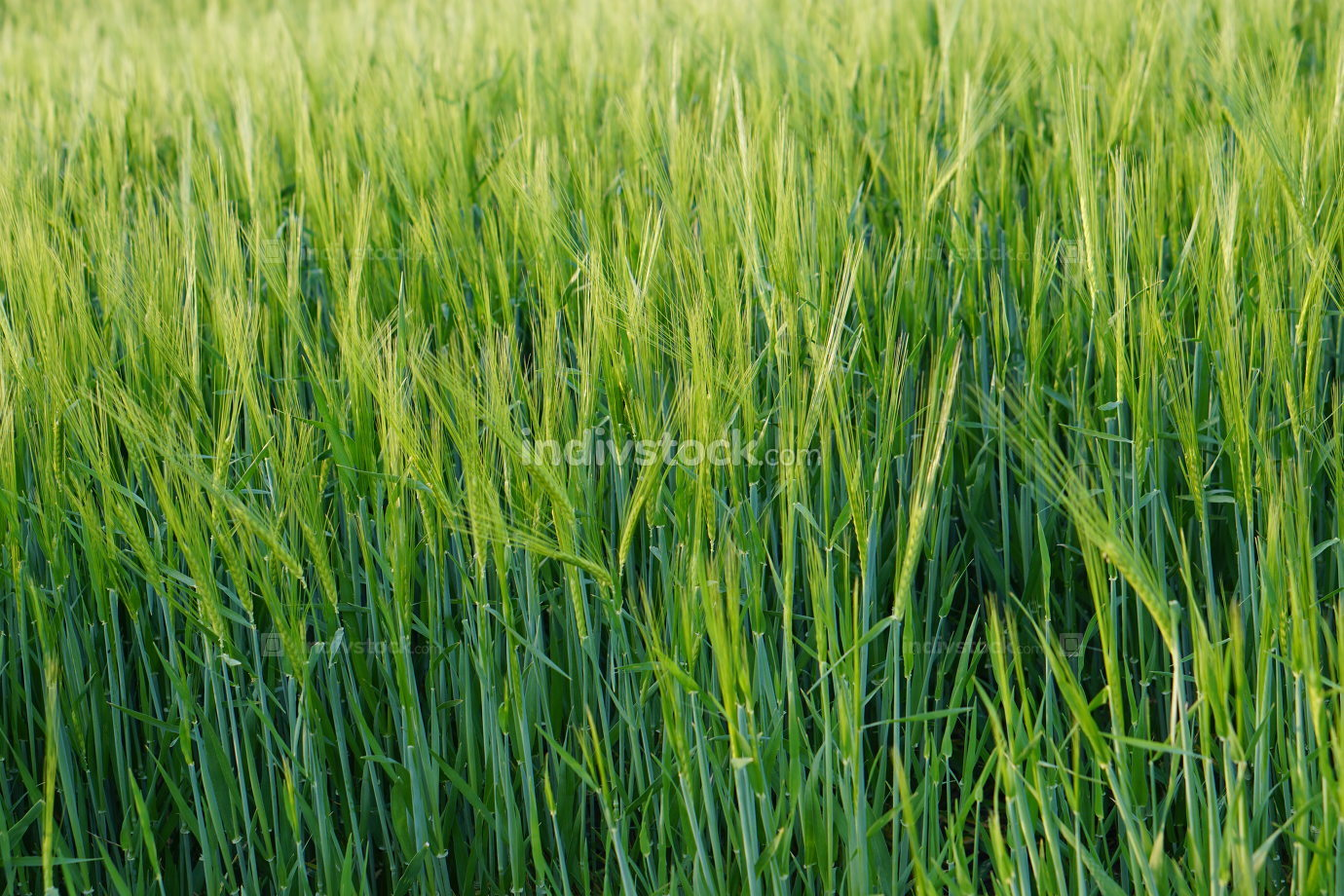 harvest agriculture green grain